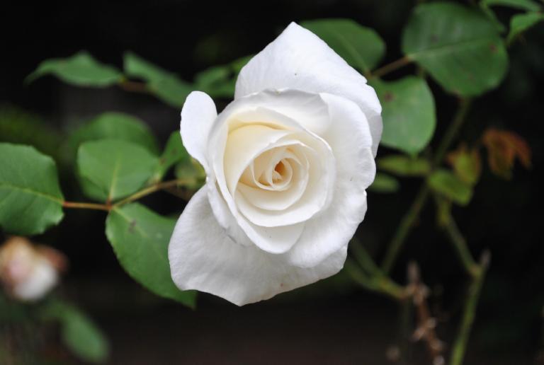 Hoa hồng bạch hấp cách thủy với đường phèn có thế giúp trị ho cho bé hiệu quả