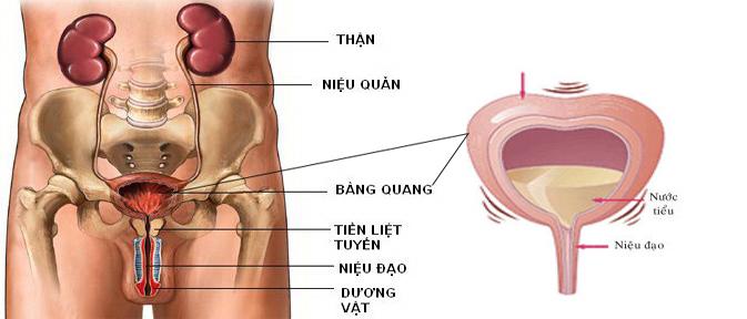 Vị trí của bàng quang trong cơ thể